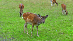 Fallow Deer On Meadow - stock footage