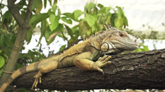 CLOSE UP: Green iguana on tree branch - stock footage