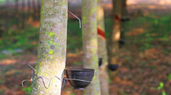 Rubber tree Stock Footage