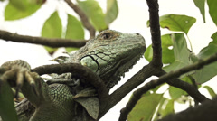 CLOSE UP: Green iguana in a tree - stock footage