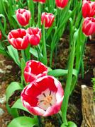 Colorful tulips. tulips in spring Stock Photos