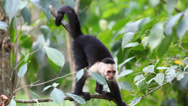 Stock Video Footage of Wild White-faced Capuchin (Cebus capucinus) finds something interesting