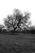 almond tree grass field - stock photo