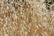 Stock Photo of dry oat straw