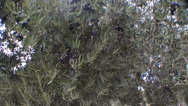 Stock Video Footage of Strong wind gusts destroy the olive grove in Jaen, Andalusia, Spain