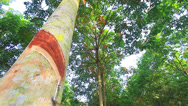 Stock Video Footage of Rubber tree