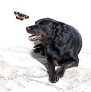 Stock Photo of black lab mix and butterfly