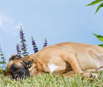 Stock Photo of dog napping in flowers