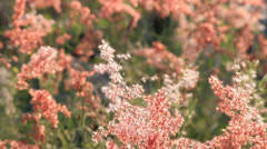 Pinkgrassflowerandwind HD Stock Footage