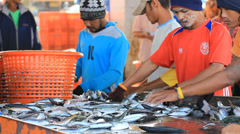 workers  sorting fish by size - stock footage