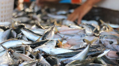 Fresh fishes sorting by size - stock footage