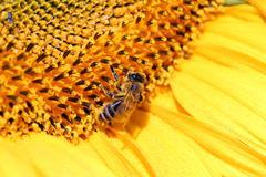 Bee on sunflower summer season Stock Photos