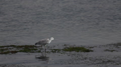 Gray heron on the Nile river, Egypt Stock Footage