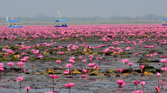Sea of pink lotus  (unseen in Thailand) Stock Footage