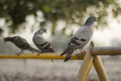 Pigeon threesome - stock photo