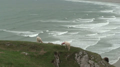 Sheep at Rhossili Bay (3) Stock Footage