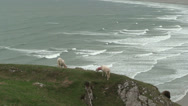 Stock Video Footage of Sheep at Rhossili Bay (3)