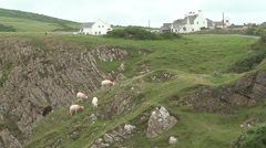 Sheep at Rhossili Stock Footage
