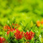 Red flower ixora Stock Photos