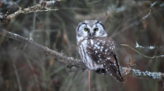 A Boreal Owl, Aegolius funereus, a small owl of Northern woods Stock Footage