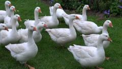 White domestic gooses on green grass in farm Stock Footage