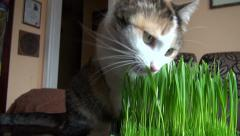 Stock Video Footage of beautiful domestic cat eating fresh green grass. Easter time