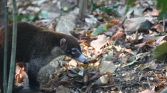 A White-nosed Coati (Nasua narica) moves through the frame Stock Footage