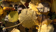 Stock Video Footage of autumn dewy aspen leaves background
