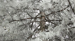 Pine trunk in the snowy branches. Smooth movement of the camera Stock Footage