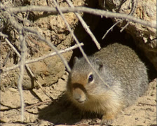 Columbian ground squirrel, Urocitellus columbianus at burrow - low angle Stock Footage