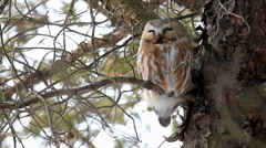 A Northern Saw-whet Owl, Aegolius acadicus roosting in a pine Stock Footage