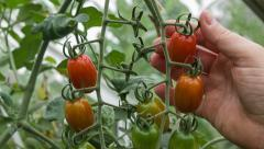 Tomato picking of small ripe red plum tomatoes Stock Footage