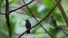 A Purple-throated Mountaingem, Lampornis calolaemus, perched in Costa Rica Stock Footage
