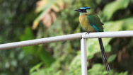 Stock Video Footage of Turquoise-Browed Motmot, Eumomota superciliosa, perched in Monteverde Costa Rica