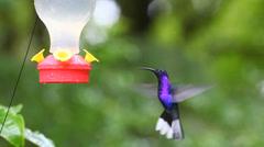 Violet Sabrewing (Campylopterus hemileucurus) at a sugar feeder in Costa Rica Stock Footage