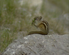 Chipmunk finishes seeds meal and jumps off rock Stock Footage