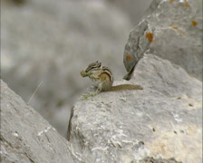 Least Chipmunk enjoying meal of grass seeds in the Rocky Mountains - wide shot Stock Footage