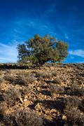 Lone oak tree desert shrubs Stock Photos
