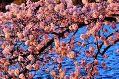 cherry blossoms close up at tidal basin - stock photo