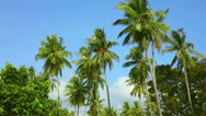Stock Video Footage of Coconut palms