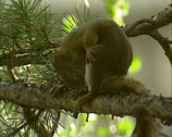 Stock Video Footage of American Red Squirrel, Tamiasciurus hudsonicus, odd behavior + scratching