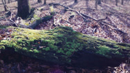Stock Video Footage of Green Mossy Log with Good Color & Shallow Depth 2.7K