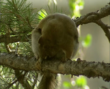 Red Squirrel, Tamiasciurus hudsonicus, on tree branch trying to get rid of fleas Stock Footage