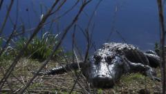 Three Alligators Sun Bathing in Florida Stock Footage