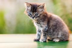 little british domestic cat animal walking outdoor - stock photo