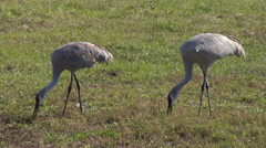 Two Sandhill Cranes Feeding at Beef Farm - Florida Stock Footage