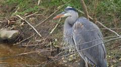 Great Blue Heron Preening - Paynes Prairie Preserve 2 Stock Footage