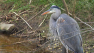 Stock Video Footage of Great Blue Heron Preening - Paynes Prairie Preserve 2