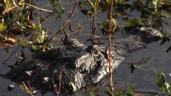 Pan and Tilt Up Huge Alligator - stock footage