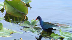 Purple Gallinule Walking Through Marshland 2 Stock Footage